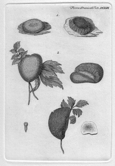 Tubifera ferruginosa (Batsch) J.F. Gmel., in Linnaeus 1791