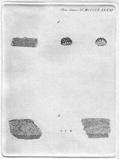 Nectria cinnabarina (Tode) Fr. 1849