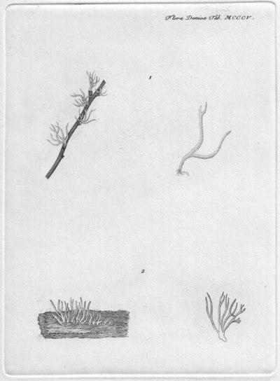 Calocera cornea (Batsch) Fr.