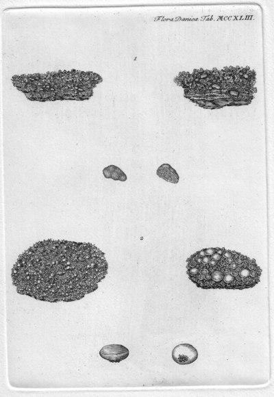 Illosporium roseum Mart.