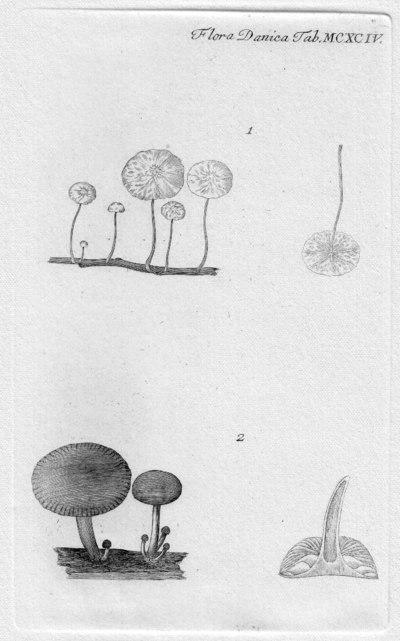 Marasmius epiphyllus (Pers.) Fr.