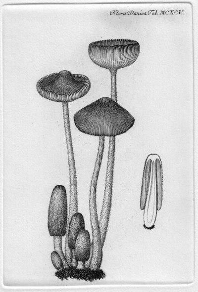 Coprinopsis cinerea (Schaeff.) Redhead, Vilgalys & Moncalvo, in Redhead, Vilgalys, Moncalvo, Johnson & Hopple 2001