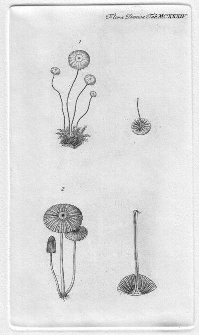 Parasola plicatilis (Curtis) Redhead, Vilgalys & Hopple, in Redhead, Vilgalys, Moncalvo, Johnson & Hopple 2001