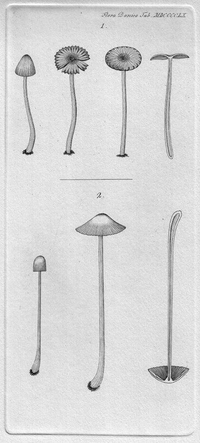 Coprinus sociatus (Schumach.) Fr.