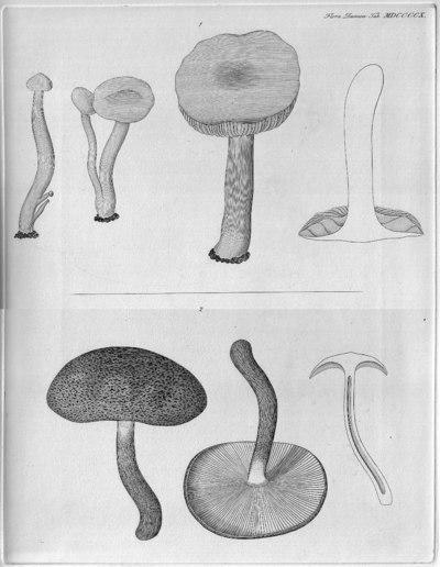 Tricholoma sulphureum var. sulphureum (Bull.) P. Kumm. 1871