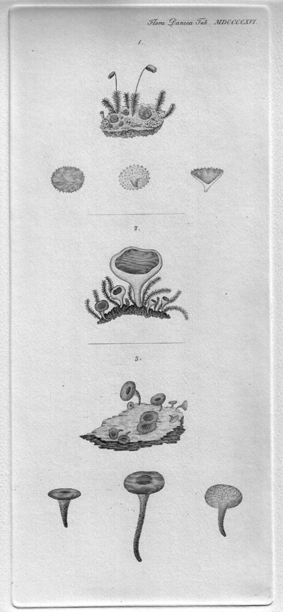 Neottiella rutilans (Fr.) Dennis 1960