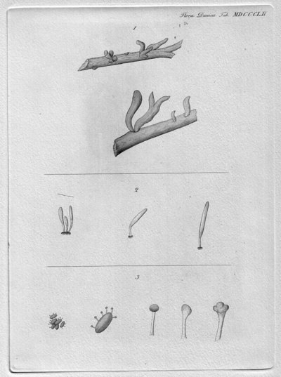 Hydrophora mucerdae (Schumach.) Fr.