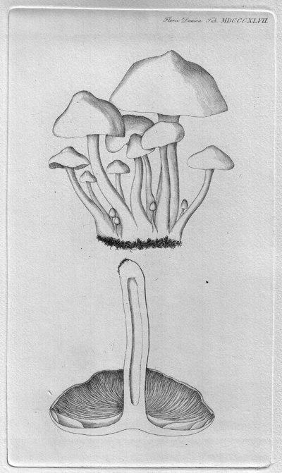 Clitocybe phyllophila (Pers.) P. Kumm. 1871