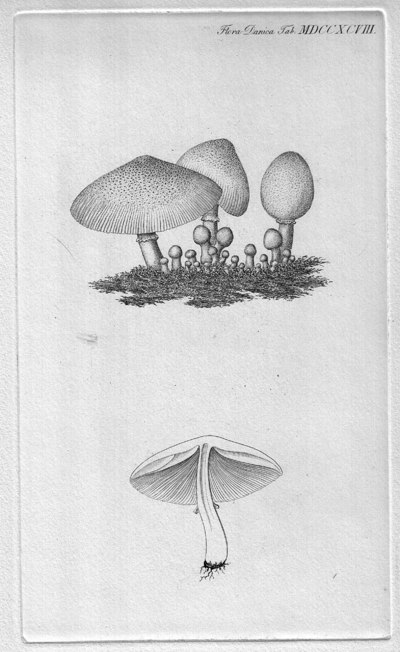 Leucocoprinus cepistipes (Sowerby) Pat. [as 'cepaestipes'] 1889