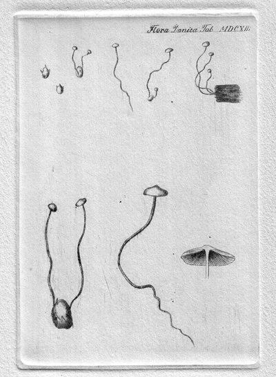 Collybia tuberosa (Bull.) P. Kumm. 1871