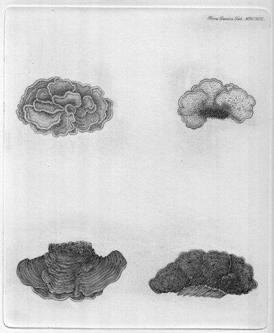 Stereum gausapatum (Fr.) Fr. 1874
