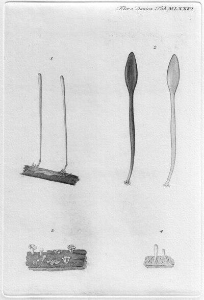 Macrotyphula fistulosa var. fistulosa (Holmsk.) R.H. Petersen 1972