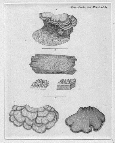 Stereum ochroleucum (Fr.) Qu