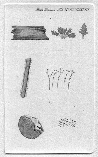 Botrytis aeruginosa Schumach.