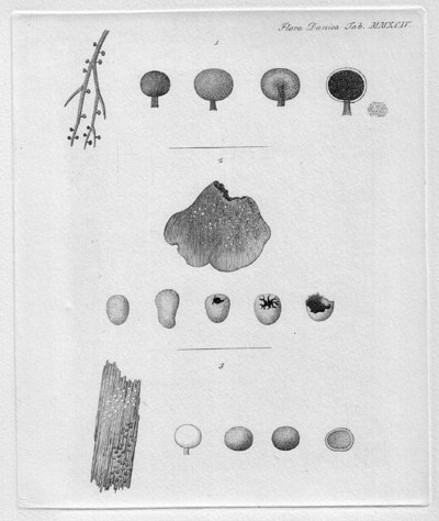 Didymium melanospermum (Pers.) T. Macbr. 1899