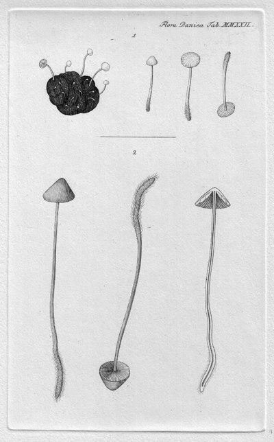 Mycena filopes (Bull.) P. Kumm. 1871