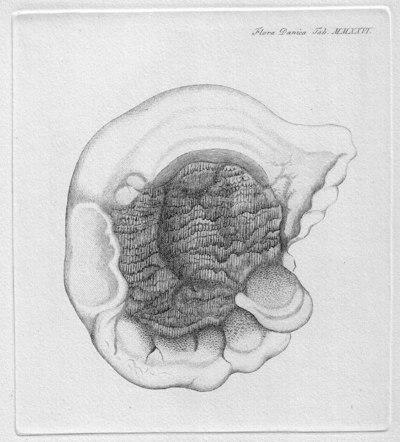 Serpula lacrymans (Wulfen) J. Schr