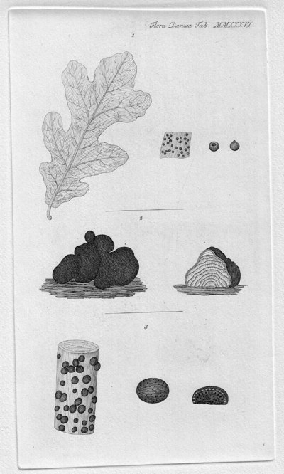 Hyponectria cookeana (Auersw.) M.E. Barr 1976