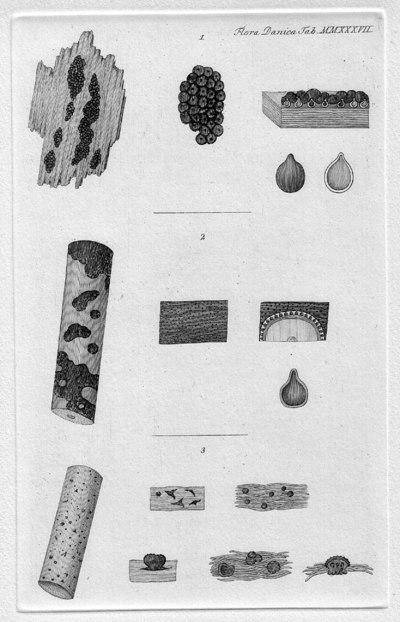 Diatrypella favacea (Fr.) Ces. & De Not. 1863