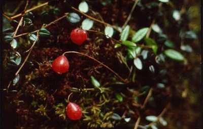 Small Cranberry