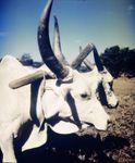 Diferentes tipos de vacas