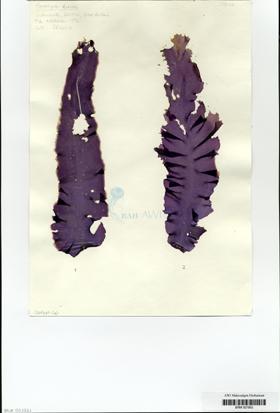 Porphyra dioica J. Brodie et L. M. Irvine