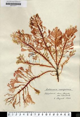 Delesseria sanguinea (Hudson) J. V. Lamouroux