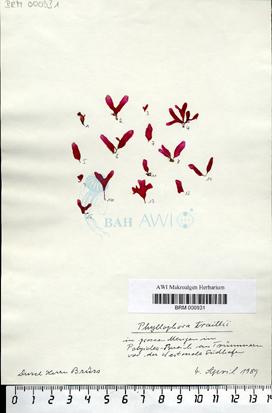 Phyllophora traillii Holmes ex Batters