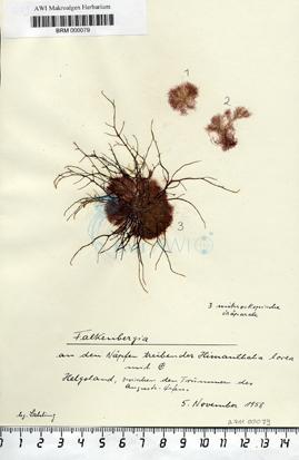 Falkenbergia F. Schmitz