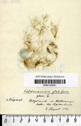 Feldmannia globifera (Kützing) G. Hamel