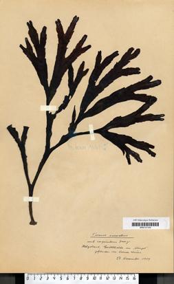 Fucus serratus Linnaeus