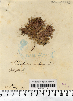 Corallina rubens Linnaeus