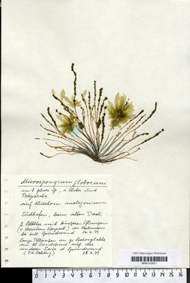 Microspongium  globosum Reinke