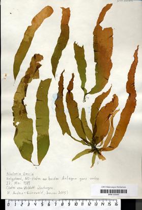 Petalonia fascia (O. F. Müller) Kuntze