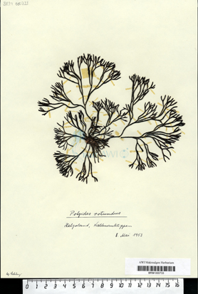 Polyides rotundus (Hudson) Greville