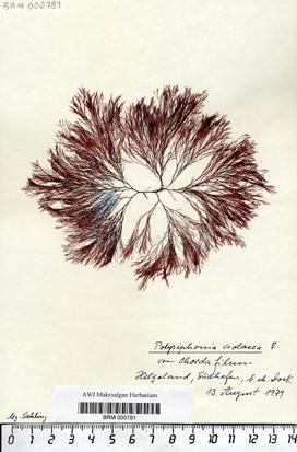 Polysiphonia violacea (Roth) Sprengel