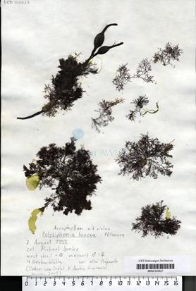 Polysiphonia lanosa (Linnaeus) Tandy