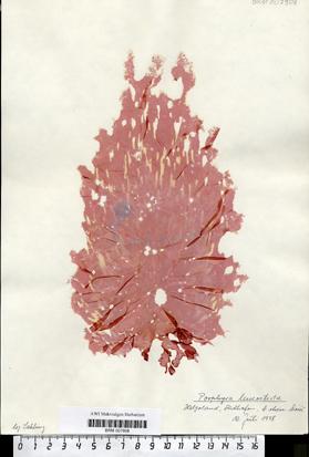 Porphyra leucosticta Thuret