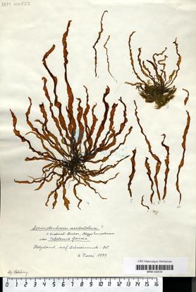 Desmotrichum undulatum (J. Agardh) Reinke