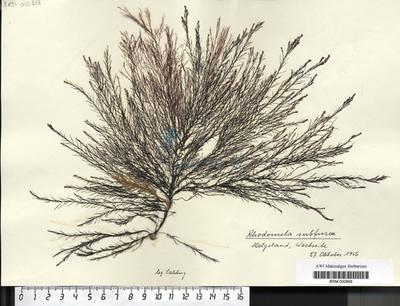 Rhodomela subfusca (Woodward) C. Agardh