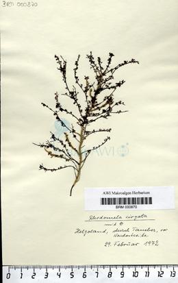 Rhodomela virgata  Kjellmann