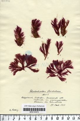 Rhodochorton floridulum (Dillwyn) Nägeli