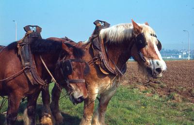 Trekpaard in Dilbeek