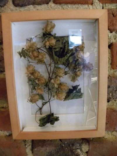 Gedroogde hopplant