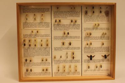 Insectendoos. Apidae (bijen).