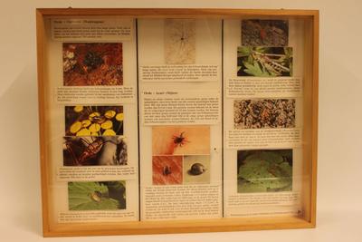 Insectendoos. Opiliones (hooiwagens).