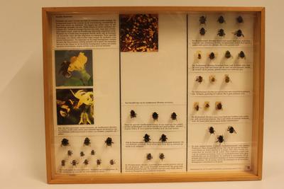 Insectendoos. Apidae (hommels).