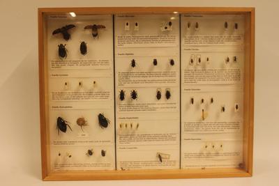 Insectendoos. Coleoptera: Dytiscidae (waterroofkevers).