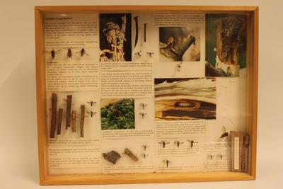 Insectendoos. Lepidoptera: Sesiidae (wespvlinders).