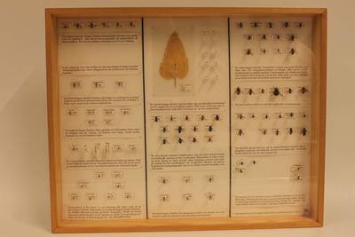 Insectendoos. Sciomyzidae( vliegen).